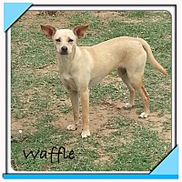 Terrier (Unknown Type, Small) Mix Dog for adoption in San Antonio, Texas - Waffle