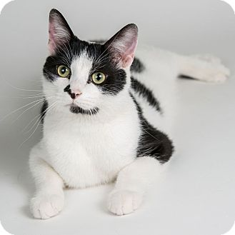 Domestic Shorthair Cat for adoption in Wheaton, Illinois - Angus