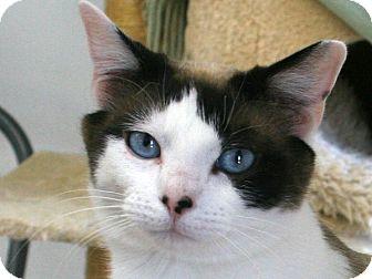 Domestic Shorthair Cat for adoption in Republic, Washington - Beverly
