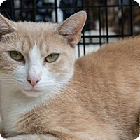 Domestic Shorthair Cat for adoption in New York, New York - Blonde