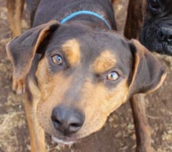 Doberman Pinscher Mix Dog for adoption in Wichita, Kansas - Ceaser a.k.a. Owen