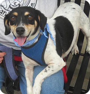 Beagle/Terrier (Unknown Type, Medium) Mix Dog for adoption in Ashland, Virginia - Holly-ADOPTED!!!
