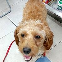 Adopt A Pet :: Aji - LONG ISLAND CITY, NY