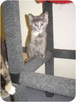 Calico Kitten for adoption in Chester, Maryland - Buffy