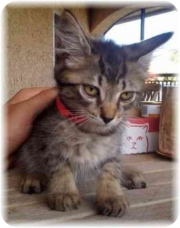 Domestic Mediumhair Kitten for adoption in Naples, Florida - Myrtle