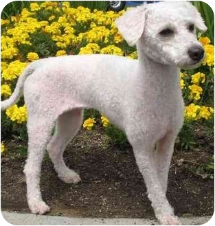 Poodle (Miniature) Mix Dog for adoption in Spring Valley, California - Tasha