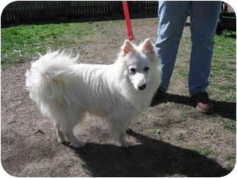 American Eskimo Dog Dog for adoption in Tuscola, Illinois - Pearl