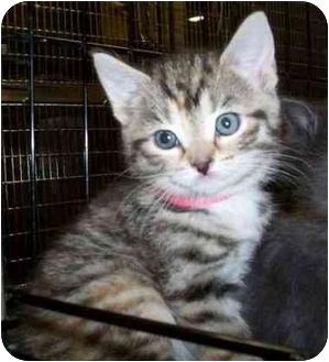 Domestic Shorthair Kitten for adoption in Reston, Virginia - Buttercup