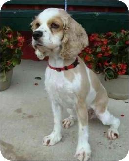 Cocker Spaniel Dog for adoption in Sugarland, Texas - Charlotte