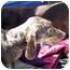 Photo 2 - Dachshund Dog for adoption in Garden Grove, California - Snickers