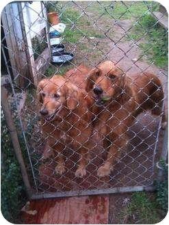 Golden Retriever Dog for adoption in Russellville, Arkansas - Doc
