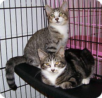 Domestic Shorthair Kitten for adoption in Somerset, Pennsylvania - Jordy