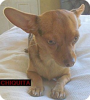 Chihuahua Dog for adoption in Apple Valley, California - Chiquita