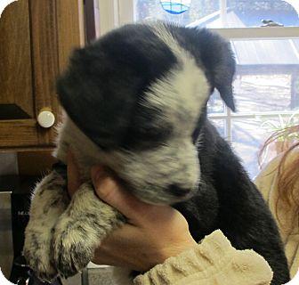 Australian Cattle Dog/Australian Shepherd Mix Puppy for adoption in Smithfield, North Carolina - Layla