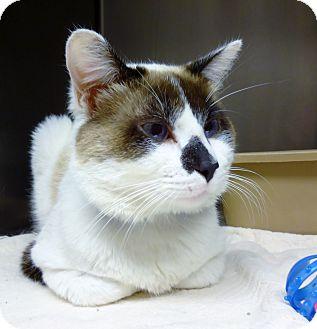 Snowshoe Cat for adoption in Marietta, Georgia - RERE (R)
