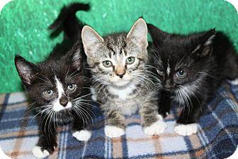 Domestic Shorthair Kitten for adoption in HARRISONVILLE, Missouri - Sisters Three