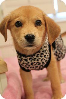 Golden Retriever/Beagle Mix Puppy for adoption in Hamburg, Pennsylvania - Bindi
