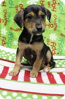 Beagle/Boxer Mix Puppy for adoption in Greenville, Virginia - Blade