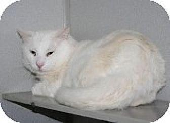 Domestic Shorthair Cat for adoption in Marietta, Georgia - Gonzo