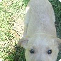 Adopt A Pet :: Goldie - Bel Air, MD
