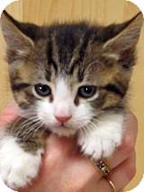 Domestic Shorthair Kitten for adoption in Wildomar, California - 223146