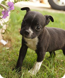 Boston Terrier/Chihuahua Mix Puppy for adoption in Newark, Delaware - Isis