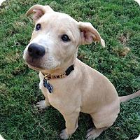 Adopt A Pet :: Daphne - Gilbert, AZ