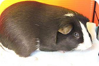 Guinea Pig for adoption in Medfield, Massachusetts - Miles