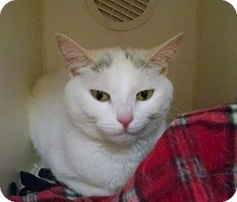 Domestic Shorthair Cat for adoption in Lowell, Massachusetts - Fluffy