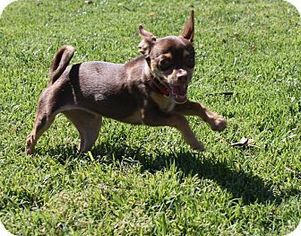 Chihuahua/Miniature Pinscher Mix Puppy for adoption in Henderson, Nevada - Reece
