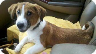 Basset Hound/Corgi Mix Puppy for adoption in Point Pleasant, Pennsylvania - BAILEY
