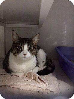 Domestic Shorthair Cat for adoption in La Grange Park, Illinois - Kassius