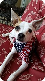 Italian Greyhound/Chihuahua Mix Dog for adoption in Brooksville, Florida - Brady