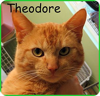 Domestic Shorthair Cat for adoption in Warren, Pennsylvania - Theodore