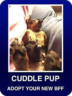 Dachshund/Miniature Pinscher Mix Dog for adoption in Morrisville, Pennsylvania - CoCo