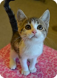 Domestic Shorthair Kitten for adoption in Michigan City, Indiana - Doublemint