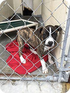 Terrier (Unknown Type, Medium)/Hound (Unknown Type) Mix Puppy for adoption in Sagaponack, New York - Cletus