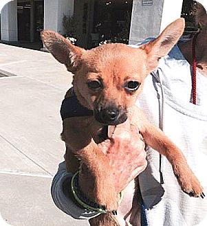 Chihuahua Mix Puppy for adoption in Vista, California - Rocky