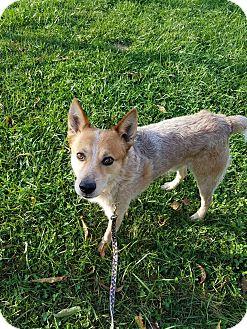 Australian Cattle Dog Mix Dog for adoption in LaGrange, Kentucky - BOOMERANG
