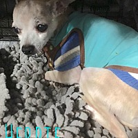 Chihuahua Mix Dog for adoption in Smithtown, New York - Herbie