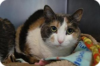 Calico Cat for adoption in New Milford, Connecticut - Millie