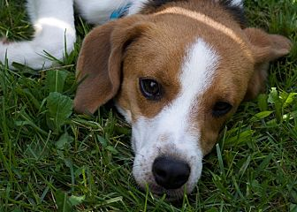 Beagle Mix Dog for adoption in Sparta, New Jersey - Tig