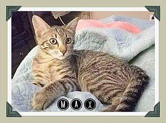 Domestic Shorthair Kitten for adoption in Arlington, Texas - Max