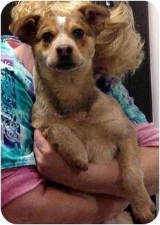 Australian Cattle Dog Mix Puppy for adoption in Manassas, Virginia - Hip hop