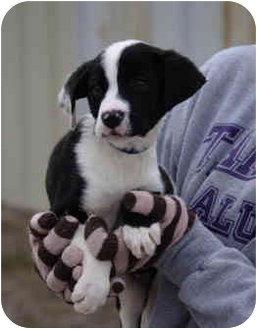 Border Collie Mix Puppy for adoption in Dublin, Texas - Scooby