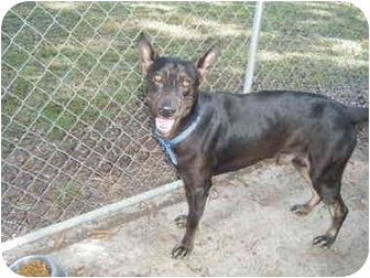 German Shepherd Dog/Doberman Pinscher Mix Dog for adoption in Wilmington, North Carolina - KING