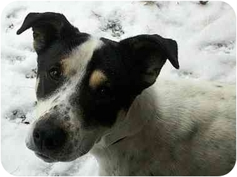 Pointer/Setter (Unknown Type) Mix Dog for adoption in Windham, New Hampshire - Bailey