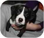 Terrier (Unknown Type, Medium) Mix Puppy for adoption in Columbia, Illinois - Emmanuel