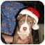 Photo 4 - American Staffordshire Terrier Mix Puppy for adoption in East Rockaway, New York - Prancer