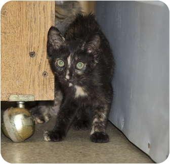 Domestic Shorthair Kitten for adoption in New Egypt, New Jersey - Striper